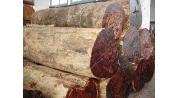 Introduction of wood: big fruit red sandalwood